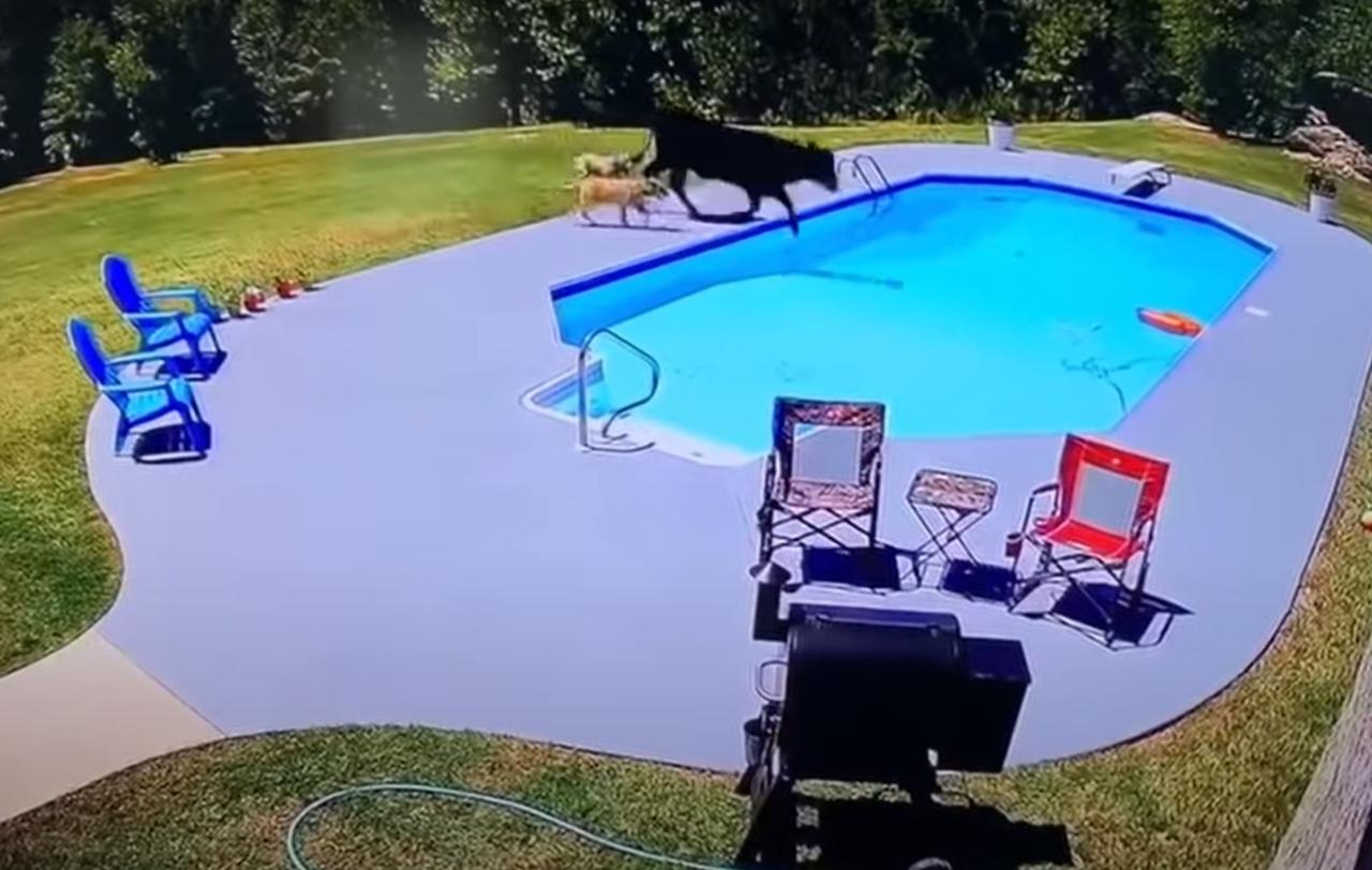 krowa w basenie
